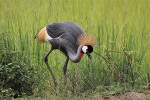 Crested Bird In Uganda